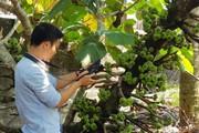 Bàn cách bảo tồn loài cây ra quả quý trông như chùm sung