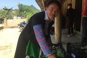 Sinh kế bền vững của người Mông ở Vân Hồ: Trồng rau VietGAP