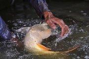 Để có giống tốt, phải chọn đàn cá bố mẹ cực bự, lại khỏe vô ngần