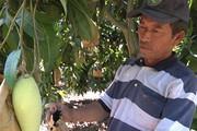 Trồng xoài ra quả bự, đem bọc trái, thương lái tranh nhau mua