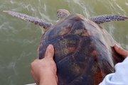 Ngư dân từ chối 250 triệu, giao rùa cho BĐBP thả về biển