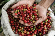 """Giá cà phê Tây Nguyên: Hôm nay """"bốc hơi"""" nửa triệu đồng/tấn"""
