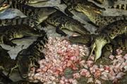 Cảnh nhung nhúc trong trang trại cá sấu lớn nhất Thái Lan