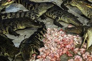 Choáng với ngành công nghiệp nuôi cá sấu ở Thái Lan
