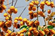 Hồng không hạt Bảo Lâm, cây trồng có tiếng được giữ gìn cả trăm năm