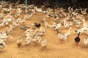 Đắk Lắk: Vịt, trứng từ ổ dịch cúm H5N6 vẫn vô tư bán ra thị trường
