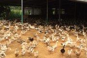 Không chịu tiêu hủy vịt bị cúm H5N1: Có thể khởi tố chủ trại vịt