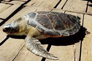 Bất ngờ bắt được rùa biển quý hiếm có hoa văn màu vàng và cái kết
