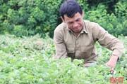 Xứ Cẩm trồng cây chữa bách bệnh, thu lãi gấp 5 lần trồng lúa