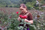 Hoa hồng Vân Hồ to, đẹp thế này mà nông dân vẫn chật vật lo đầu ra