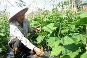 Lâm Đồng: Chỉ trồng rau thôi, mỗi tháng lời gần 70 triệu đồng