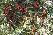 Xưa chỉ là quả dại bán ở chợ quê, giờ là cây bonsai bán cực đắt