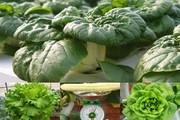 Vườn toàn rau siêu khổng lồ trên sân thượng 35m2 của bố đảm Nha Trang