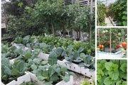 Sân thượng quanh năm phủ xanh rau quả của mẹ hai con ở xứ Thanh