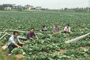 Gom đất trồng rau bán sang Nhật Bản, Đài Loan mà giàu nhất xã