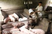 Giá heo hơi hôm nay 13/8: Giá lợn giống tăng lên 2 triệu đồng/con
