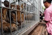 Ghê rợn: Nuôi nhốt các loài mèo lớn để chế biến làm thuốc đông y