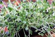 Mách bạn cách trồng rau mầm hướng dương cực ngon, bổ, lạ tại nhà