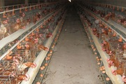 Cách chăm sóc để gà đẻ trứng đều, chất lượng cao
