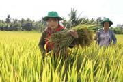 Không tên tuổi, gạo Việt thua đau: Nâng chất, bỏ đua số lượng