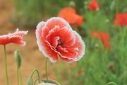 """Mê mẩn vẻ đẹp những loài hoa giúp nông dân Đà Lạt """"hái ra tiền"""""""
