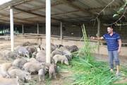 Lãi 250 triệu/năm từ 300 con lợn rừng ăn cỏ nhiều như trâu
