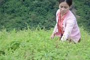 Vùng đất dân vào rừng sâu tìm loài sâm quý ươm thành giống
