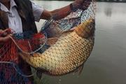 Nín thở: Cao thủ giật cùng lúc 4 cần câu cá chép trên sông Đồng Nai