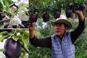 Quả táo đen xì đen xịt độc, lạ, ngon, bổ giá gần nửa triệu mỗi quả