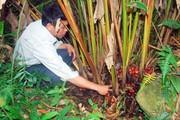 Lào Cai: Giá thảo quả thấp kỉ lục, không mua nổi 1kg thịt lợn
