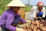 Hòa Bình: Dân hối hả thu hoạch đặc sản khoai lang Ba Khan