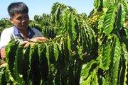 Giá giảm sâu nhất 10 năm qua, ngành cà phê lâm cảnh bi đát