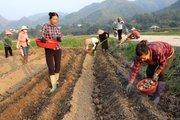 Lào Cai: Trồng khoai tây làm bức tranh NTM  Dương Quỳ thêm đẹp