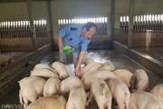 CLIP: Lãnh đạo Cục Thú y bày cách tái đàn lợn hiệu quả sau dịch tả