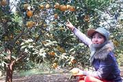 Tái cơ cấu nông nghiệp: Sản xuất sạch, phù hợp quy hoạch cây có múi ở Bắc Trung Bộ