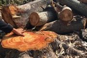 """Khánh Hòa: Vụ 17 cây xoài cổ thụ bị cưa, đốn  """"nhầm"""" cần làm rõ"""