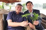 """Loài sâm """"quốc bảo"""" trồng bằng cây cấy mô ở Đà Lạt đã cho củ"""