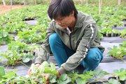 Mang giống dâu tây Ha Na về vùng núi, anh Nguyễn Văn Bình làm giàu