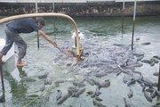 Lạ mà hay: Nuôi cá lóc đầu nhím ở bể xi măng, thu hàng trăm triệu