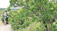 Về Tây Ninh thưởng thức đặc sản mãng cầu trĩu quả ở chân núi Bà Đen