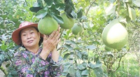 Lạ Vĩnh Long: Gây vườn bưởi Năm Roi mới được 5 năm nhưng không có trái