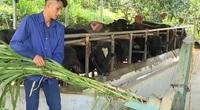 """Phú Thọ: Liều nuôi giống bò """"siêu to"""" anh nông dân trẻ, khỏe, đẹp trai có lãi """"khổng lồ"""""""