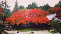 Chiêm ngưỡng cây phong 400 tuổi ở Nhật Bản