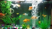 Biết 5 điều này khi nuôi cá cảnh để đón tài lộc vào nhà không xuể