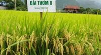Đài Thơm 8 là giống lúa gì mà nông dân Nam Định cấy nhiều, thương lái chờ sẵn gặt xong mua luôn?
