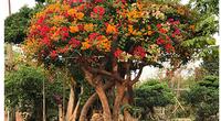 """Những cây hoa """"hữu sắc vô hương"""" ra nhiều màu, dân chơi kiểng trả giá hơn nửa tỷ đồng"""