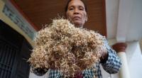 Hàng tấn thóc mọc mầm sau khi nước rút, nông dân Quảng Trị khóc ròng vì nỗi lo mùa vụ hậu lũ lụt