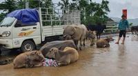 """Người dân Quảng Bình đưa trâu bò lên cầu bắc qua sông Gianh """"chạy"""" lũ lịch sử"""