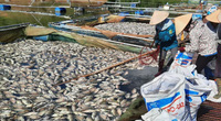 Điện Biên: Hơn 80 tấn cá lồng chết hàng loạt chưa rõ nguyên nhân