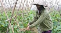 Vĩnh Phúc đưa kỹ sư trẻ về HTX nông nghiệp, đầu tư trồng rau công nghệ cao